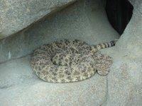 Snakes_-_Rattlesnake.jpg