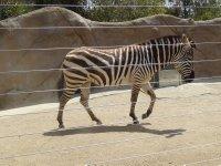 Zebra_3.jpg