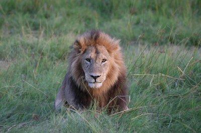 Adult Male Lion - Moremi