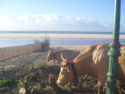 Cows_in_th..__Spain.jpg