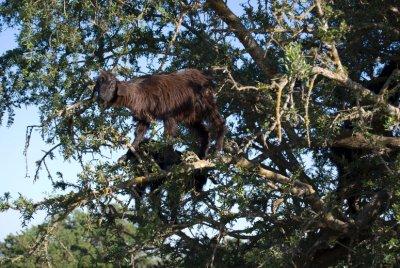 Goat_in_a_tree.jpg