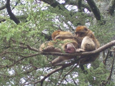 Monkeys_up_a_tree.jpg