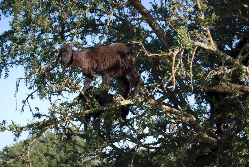 Goat in a tree