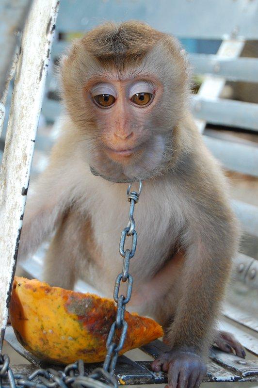 Chained Monkey near Dalat