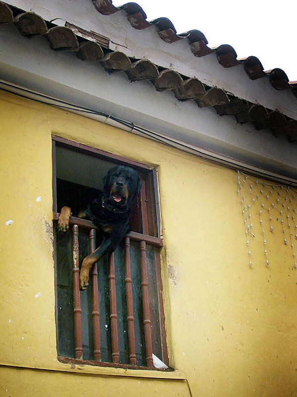 cuzco dog window