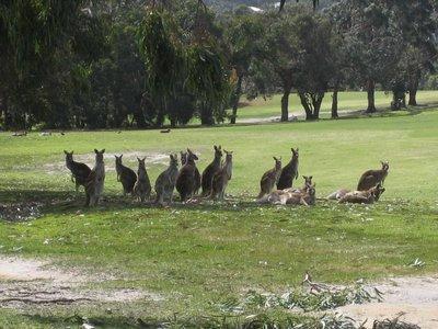 Wild Kangaroo's on Anglesea Golf Course