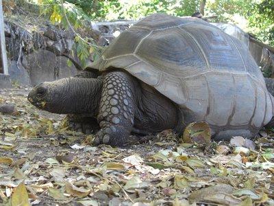 Pepino - Giant Tortoise