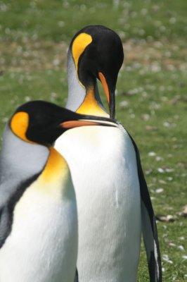 King Penguins Falkland Islands