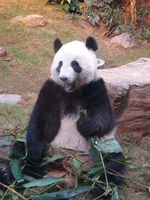 HK_panda1B.jpg