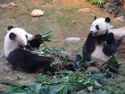 HK_panda2A.jpg