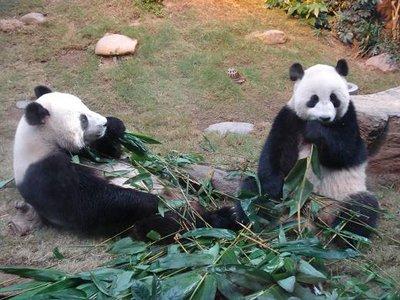 HK_panda2B.jpg