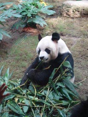 HK_panda_1A.jpg