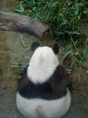HK_panda_back.jpg