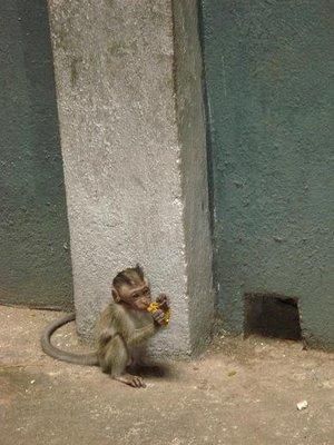 Malay_monkey1.jpg