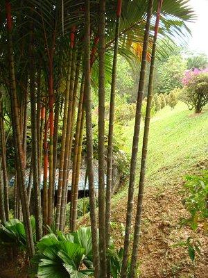 Malay_trees.jpg