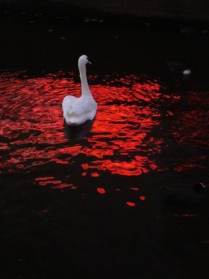 amsterdam_swan.jpg