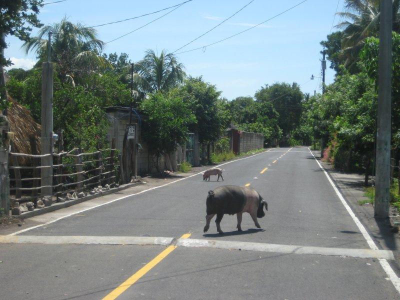 Guatemala Pigs
