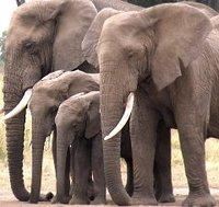 Elephants in Amboselli