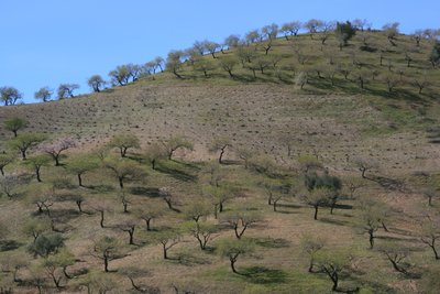 Almond Trees in Andalucia.