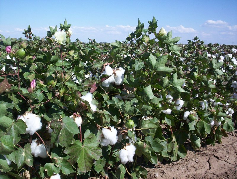 Cotton in West Texas