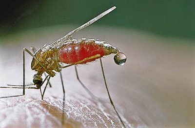 malaria_mosquito.jpg