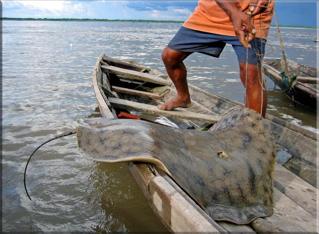 Giant Fresh Water Stingray