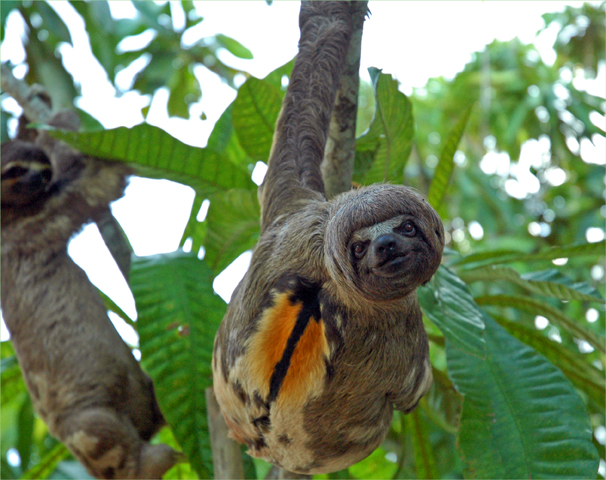 Male Three Toed Sloth Poses Peru Travellerspoint