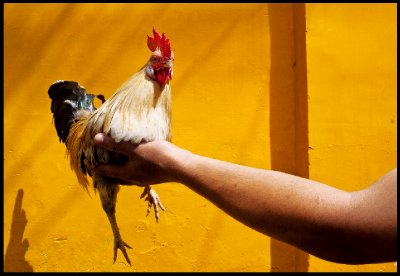 Rooster drying in the sun