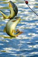 apple fishing