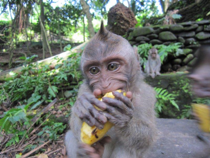 Suesse Affenbabies im Monkey Forest