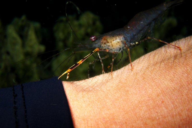 Cleaner Shrimp im Barracuda Lake, Coron