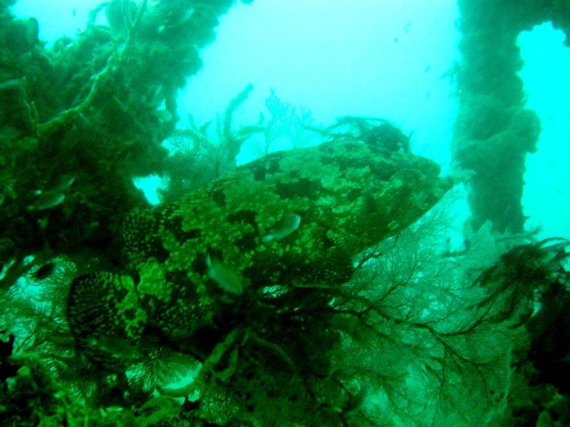 Dicker Grouper auf einem Wrack bei Coron