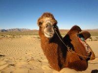 Kamel in der Mini-Gobi