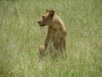 Lioness at Ruaha National Park
