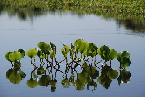 h10wasserpflanzen