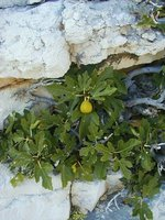 Fig in the stone