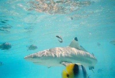 Shark feeding in Bora Bora