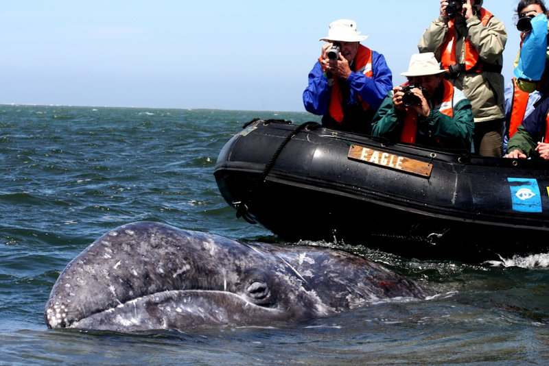 Curious Gray Whale