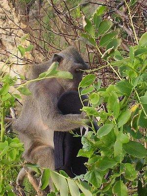 monkey_het.jpg