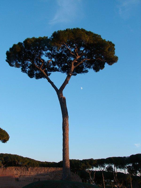 Stone pine on the Palatine