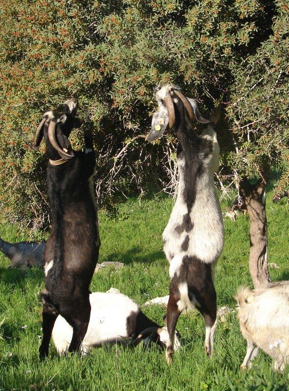Bipedal goats