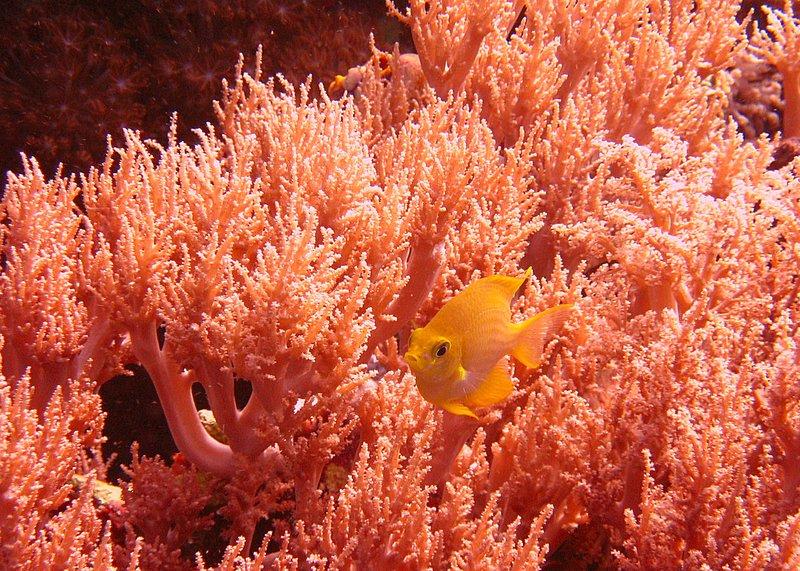 Yellow reef fish