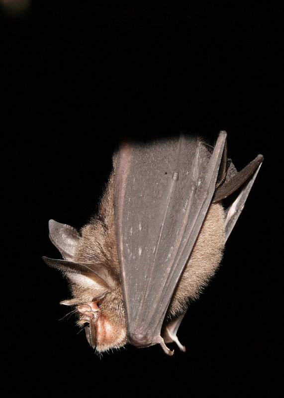 Bat in Gomantong Caves