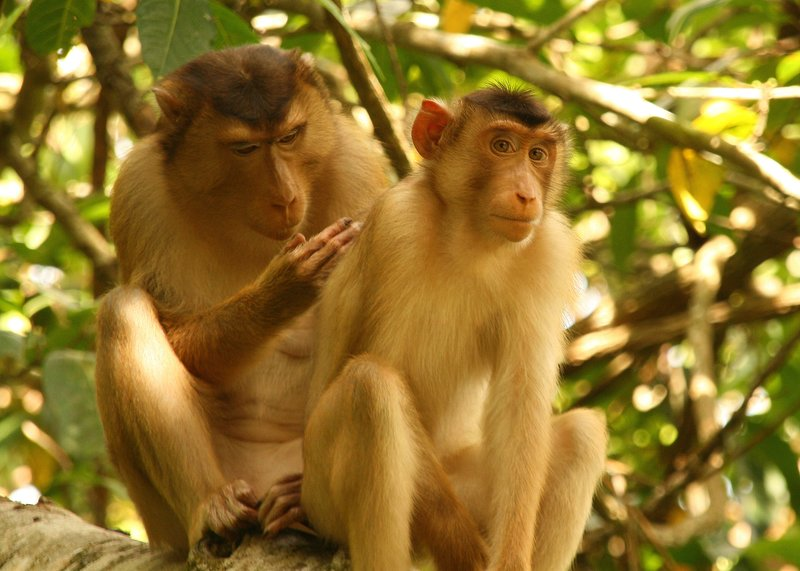 Pigtailed macaques grooming