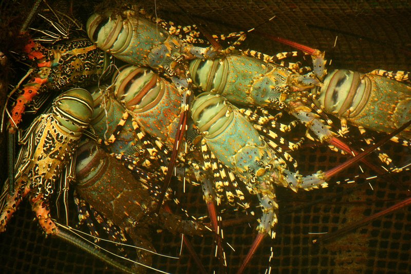 Lobsters at the Dragon Inn