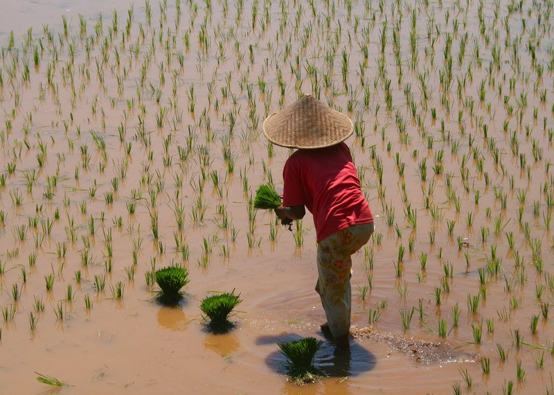 In the padi fields