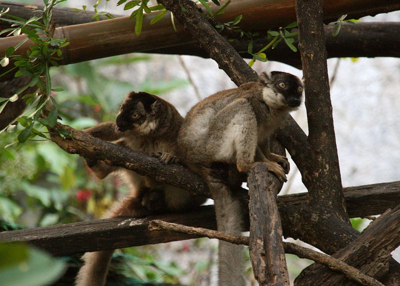 Brown lemures