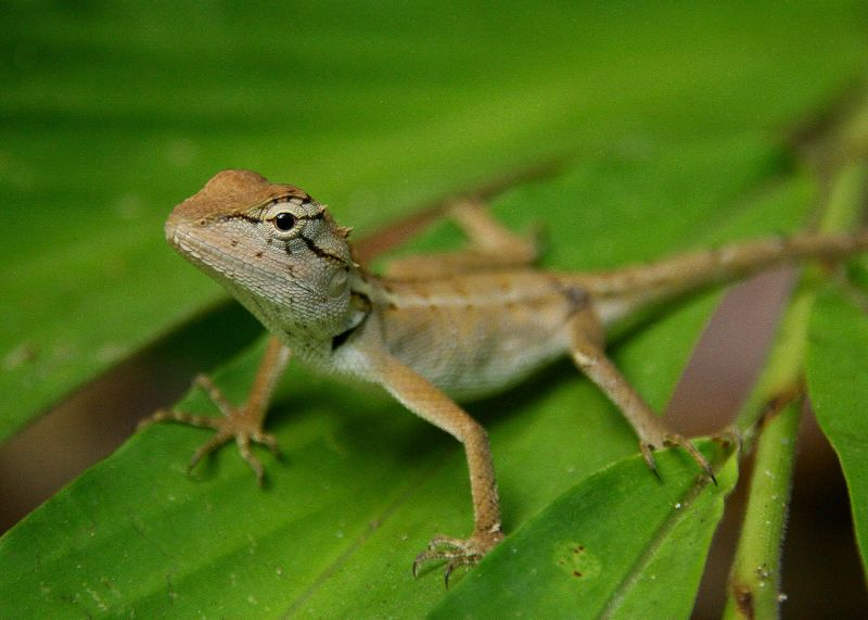 Chameleon 4