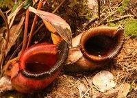 Nepenthes kinabaluensis