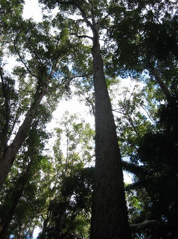 Fraser Island: Valley of the Giants trees
